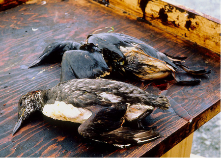 Birds killed by oil from the Exxon Valdez spill